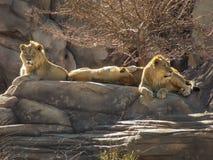 Lejonstolthet av vagga Arkivfoto