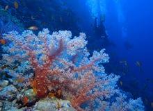 Lejos del coral suave rosado en Habili Ali, los filones de St John, Mar Rojo, Egyp fotos de archivo libres de regalías