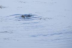 LEK λούτσων που ζευγαρώνουν σε μια λίμνη την άνοιξη στοκ φωτογραφία με δικαίωμα ελεύθερης χρήσης