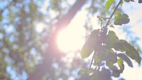 Lek av solstrålar till och med lövverk för äppleträd på vinden abstrakt floror för backdopbakgrundsblur fokuserar solljus för nat arkivfilmer
