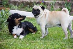 Lek för djur för mopshundlek Fotografering för Bildbyråer