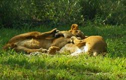 Lek för lejongröngölingar i Sydafrika Royaltyfri Foto