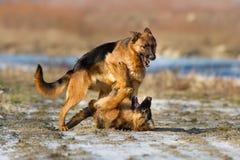 Lek för två hund fotografering för bildbyråer