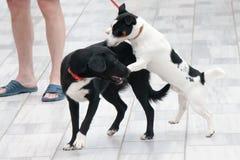 Lek för två hundkapplöpning på gatan royaltyfri foto