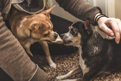 Lek-stridighet för två Chihuahuas Arkivbilder