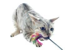 Leka bengal katt Fotografering för Bildbyråer