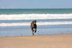 Leka boll för hund på stranden Royaltyfri Foto