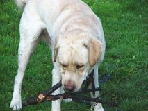leka för 3 hund Royaltyfri Bild