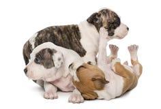 Leka för amerikanska Staffordshire Terriervalpar Arkivfoton