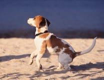 leka för beagle Royaltyfria Bilder