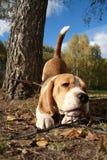 leka för beagle Fotografering för Bildbyråer
