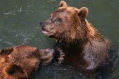 leka för björnar Royaltyfri Foto