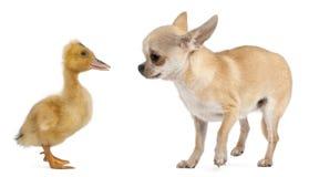 leka för duckling för chihuahua inhemskt Arkivfoton