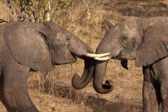 leka för elefant Royaltyfri Fotografi
