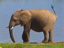 leka för elefant royaltyfri bild