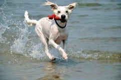 leka för hund royaltyfria foton