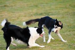 leka för hundar royaltyfri foto