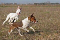 leka för hundar Royaltyfri Bild