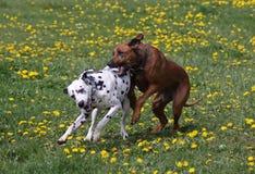 leka för hundar Royaltyfria Bilder