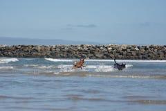 leka för hundar San Diego Dog Beach Kalifornien royaltyfri fotografi