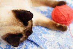 leka för katt som är siamese Arkivfoton