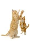 leka för kattungar Arkivfoton
