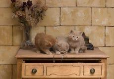 leka för kattungar Royaltyfri Fotografi