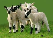 leka för lambs Arkivbilder