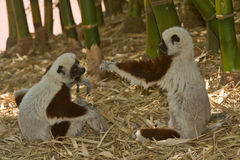 leka för lemurs Fotografering för Bildbyråer