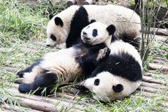 leka för pandas Arkivfoton