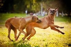 Leka för ridgeback för två hundar Royaltyfria Bilder