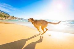 leka för strandhund Royaltyfria Foton