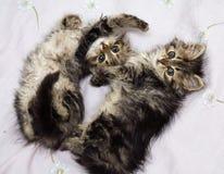 Leka för två kattungar Arkivbild