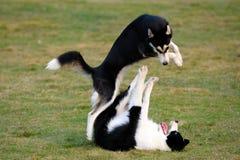 leka för hundar Fotografering för Bildbyråer
