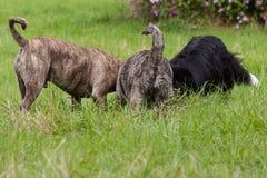 Leka hundkapplöpning Royaltyfri Fotografi