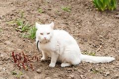 Leka katt Vit katt som spelar med en boll i trädgården, Royaltyfri Bild