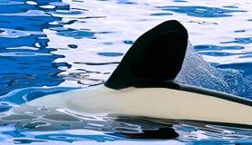 leka pöl för orca Royaltyfria Bilder