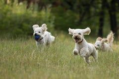 leka poodles Royaltyfria Bilder