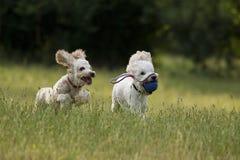 leka poodles Fotografering för Bildbyråer