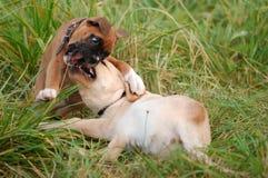 leka puppys Arkivfoto