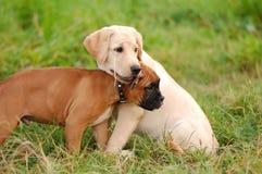 leka puppys Arkivbild