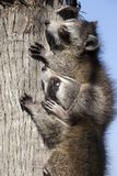 leka raccoons Arkivfoton