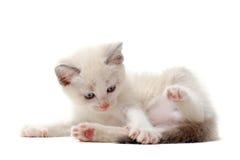 Leka Siamese kattunge Royaltyfri Bild