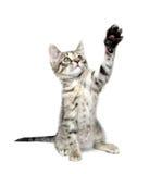 leka tabbywhite för gullig kattunge Arkivbild
