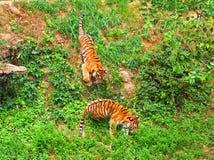 leka tigrar Royaltyfri Fotografi