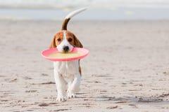 leka valp för beagle Arkivfoto