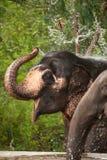 leka vatten för asiatisk elefant Arkivfoto
