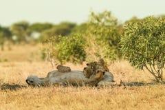 Lekar för lejon` s i savannahen arkivbilder