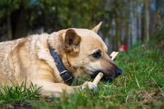 Lekar och tuggningar för liten hund en pinne royaltyfri foto