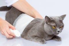 Lekarka i Brytyjski kot na białym tle Obraz Royalty Free